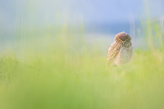 DSC_1136 (gustavoamaranto) Tags: bokehphotography bokeh lechuza naturaleza aves avesargentinas