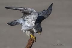 Falco peregrinus (Francesc F P) Tags: faunadecatalunya falcoperegrinus falcópelegrí peregrinefalcon fauconpèlerin rapinyaire rapaz rapinyaires rapaces animal au ave catalunyaocells bird birdwatching birding birdingcatalunya