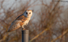 Barn Owl (KJB Photography.) Tags: barn owl countryside farmland nature wildlife photography wild