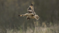 Air Brakes on! (Ann and Chris) Tags: shortearedowl shorteared owl close hunting braking stopping hunt hovering unconventional wild wings wildllife