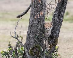 Time out (Tris Enticknap) Tags: africa cheetah kenya maranorthconservancy masaimara acinonyxjubatus