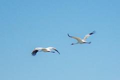 Whooping Cranes spend their winter in South Texas. (Jacque & John) Tags: birds whoopingcranes birdswatching rockporttexas coastalbirds bird cranes