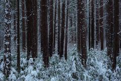Winter In The Woods (jojo (imagesofdream)) Tags: yosemite yosemiteconservancy nikon natgeo landscape california nationalparks