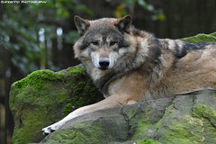 Wolf - Allwetterzoo Munster (Mandenno photography) Tags: animal animals dierenpark dierentuin dieren duitsland allwetterzoomunster allwetterzoo zoo munster germany wolf discovery ngc nature natgeo natgeographic bbcearth bbc animalplanet