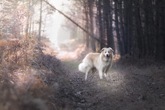 Hiking... (czypek) Tags: dog border collie animal majestic nature pet cute portrait mammal background bokeh domestic purebred outdoor forest pedigree canine puppy fur australian red adorable awesome nostalgic isolated