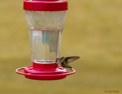 In Flight (Donald.Gallagher) Tags: animals backyard birds cameraraw crop curves de delaware horizontal hummingbirds inflight lenstagger levels nature newcastlecounty northamerica pikecreek public rubythroated saturation spring topazdenoiseai typecolor typephotoshop typeportrait typeshutterbuttonfocus typetelephoto usa vibrance woodcreek what where
