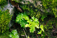 ferns and moss (kevin.boyd) Tags: vancouverisland viewroyal bc canada flora fern ferns green moss rock