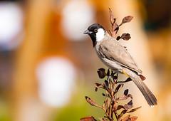 White-Eared Bulbul (VintageLensLover) Tags: vögel bulbul dubai almahadesertdubai wüste vogelwelt birds natur outdoor vogelbeobachtung bokeh dof schärfentiefe schärfeverlauf olympusem1 zuiko40150f28pro