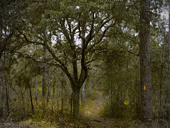 Overcast (surfcaster9) Tags: pinetrees outside drizzle oaktree trail florida forest nature outdoors micro43 lumixg7 lumix25mmf17asph