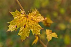 Autumn Leaf (pstenzel71) Tags: blätter natur pflanzen leaf blatt autumn fall herbst darktable bokeh