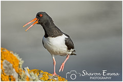 Oystercatcher (Haematopus ostralegus) (Sharon Emma Photography) Tags: oystercatcher haematopusostralegus haematopus haematopodidae charadrii charadriiformes aves waders seapie bird blackandwhite orangebill noisy plover feathers seabird coastal oysters nature naturalworld wildlife wild ngc beautiful rural countryside coast coastline seascape sea beach rockpools sand cliffs cove water ruggedcoastline hiddengem attractive view scenery landscape wow holiday travelling walking hiking trekking jersey bailiwickofjersey channelislands britishcrowndependency europe nikon nikond7200 sharonemmaphotography sharonemmagoldring sharongoldring sharondowphotography 2019 perfect paradise desertedparadise pictureperfect picturesque pretty ideal stunning peaceful photographysharonemmacouk