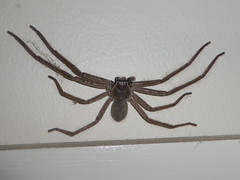 What a relief... (tessab101) Tags: hunting huntsman sparassidae spider spiders arachnid arthropods blue mountains nsw australia