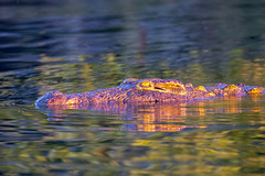"a crocodile starts to show golden hues in the deepening african sunset. Cruising on the ""Zambezi River"", Zambezi, river, water, Zambia, Zimbabwe, Africa. (grumpybaldprof) Tags: ""canon80d"" ""sigma 150600mm f563 dgoshsmsport"" ""fineart"" ethereal striking artistic interpretation impressionist stylistic style colour colours colourful bright sunset evening reflections ""waterreflections"" ""wetreflections"" reflected crocodile reptile amphibious ancient leather teeth ""zambeziriver"" zambezi river water zambia zimbabwe africa"