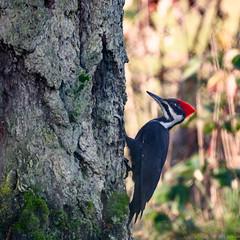 Woody on wood (Picture-Perfect Pixels) Tags: pacificnorthwest woodpecker bird animal wildlife pileatedwoodpecker saanich vancouverisland britishcolumbia canada nature winter nikonz50 nikkor200500mm