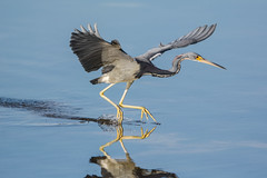 Dances on water (ChicagoBob46) Tags: tricoloredheron heron bird jndingdarlingnwr florida nature wildlife coth5 ngc sunrays5 sanibel sanibelisland npc naturethroughthelens specanimal specanimalphotooftheday