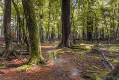 Dream alittle Dream DSC_5522 (BlueberryAsh) Tags: newzealand glenorky beechforest lush queenstown leaves sylvanlake hike trail otagoregion forest walk rain