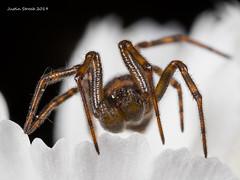 Male Cobweb Spider (strjustin) Tags: cobwebspider arachnid spider insect bug macro mpe focusstacking flowers