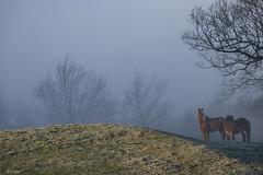 Paisaje (alfonso-tm) Tags: caballos niebla arboles fujifilmxt3