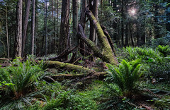 Wickedly wild Pacific Northwest (Picture-Perfect Pixels) Tags: forest woodland nature outdoors pacificnorthwest park trail trees foliage ferns vancouverisland britishcolumbia canada