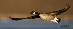 Canada Goose Flies Close In Morning Light (dcstep) Tags: cherrycreekstatepark cherrycreekreservoir colorado allrightsreserved copyright2020davidcstephens goose canadagoose geese bird birdinflight bif wings dxophotolab dsc5372dxo