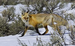 Red Fox 4278 (Jeff Brough) Tags: vulpesvulpes fox redfox idaho jeffbrough yellowstone yellowstonenationalpark