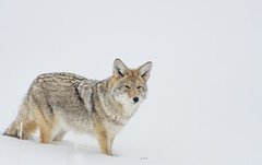Coyote in snow. (agnish.dey) Tags: mammal montana wildlife wilderness wyoming coyote yellowstone yellowstonenationalpark nature naturallight naturephotograph nikon naturethroughthelens nationalpark animalplanet d500 gtnp