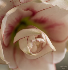 My heart is open (eMMa_bOOm) Tags: amaryllis hippeastrumelvas whitewithredandpink doublebloomingflower flower seasonal bulb heart nature natural macro colours hues colour white pink redoutlines leafs green