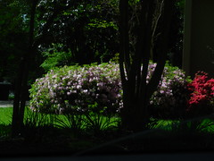 DSCN0083 (tombrewster6154) Tags: middle spring late april 2019 mmxix blooming bushes flowering sunshine daytime photography digital camera photograph picture green grass lovely scene prima vera trees sunlight pink pretty beautiful street level outside outdoors natural beauty gorgeous striking portrait
