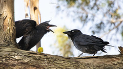 What do you mean you don't like it?? (Greenstone Girl) Tags: ravens black feeding wing wednesday