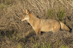 Coyote on the Alert, Just Before Leaping (marlin harms) Tags: canislatrans coyote alertcoyote coyotewatching