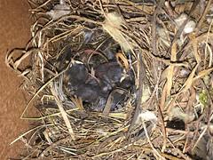20190617 Carolina Chickadee (plumheadedfinch) Tags: birds passeriformes paridae poecile poecilecarolinensis carolinachickadee pennsylvania month06june 2019 nature