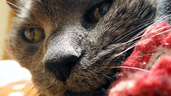 Time for Argent's Close-up 1 (sjrankin) Tags: 8january2020 edited animal cat kitahiroshima hokkaido japan argent closeup bed bedroom tunic