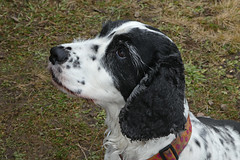 Daisy (alison's daily photo) Tags: dog spaniel daisy 52in2020challenge 2252adogorpuppy