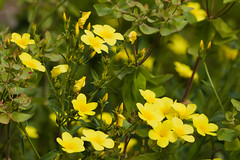 The color yellow (www.holgersbilderwelt.de) Tags: yellow golden flax bosel nature beautiful light landscape summer color art mountain germany spring garden pretty europe plant field outdoor closeup botany flora amazing scenic lovely season rural countryside perspective agriculture meadow saxony sachsen growth rustic aperture valley meissen