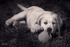 Puppy Playtime (NYRBlue94) Tags: labrador puppy dog jax