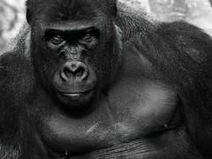 Ape With Attitude (lleon1126) Tags: silverback detroitzoo blackwhite ape trevorcarpenterphototgraphychallenge highcontrast