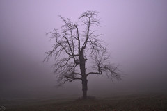 solitude tree Schönberg  2020 (matthias416) Tags: schönberg breisgau blackforest schwarzwald deutschland germany fog haze dust nebel dunst winter baum tree silhouette nikon elitegalleryaoi bestcapturesaoi aoi