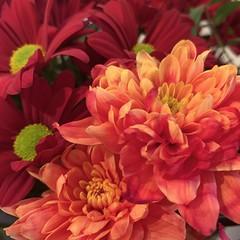 Red and orange chrysanthemums (markshephard800) Tags: petals chrysanthemums oranges orange reds red bloemen blumen flora flores fiori fleurs flowers