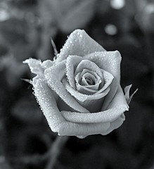 Rose (majka44) Tags: rose drop droplet beauty macro macroworld light blackandwhite flower black|white bw