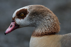 Egyptian Goose (Tim Melling) Tags: egyptian goose alopochen aegyptiaca nottinghamshire timmelling