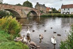 Swans at Haddington, East Lothian, Scotland (Baz Richardson) Tags: scotland eastlothian haddington medievalbridges swans rivertyne rivers