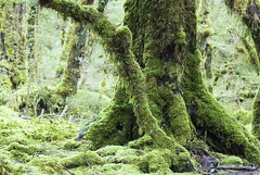 New Zealand (richard.mcmanus.) Tags: newzealand rainforest forest milfordsound trees moss landscape gettyimages