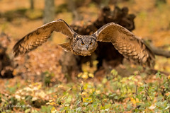 European Eagle Owl - Duck!! 501_6499.jpg (Mobile Lynn) Tags: birds owlsrelatives europeaneagleowl autumnal owl inflight nature autumn bird bubobubo eurasioneagleowl fauna flight flying siberianeagleowl strigiformes wildlife nocturnal rimavskásobota banskábystricaregion slovakia coth specanimal coth5 ngc npc