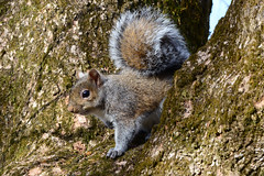 Eastern Gray Squirrel (Astral Will) Tags: squirrel rodent easterngraysquirrel treesquirrel tail curious critter