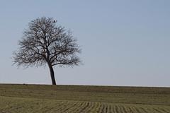 Le solitaire - Lonely tree (Gisou68Fr) Tags: arbre oiseau rapace champs fields tree bird birdofprey ciel sky 68 hautrhin grandest alsace france