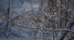 Icedrops with snow (Violet aka vbd) Tags: pentax k1ii k1markii hdpentaxda55300mmf4563edplmwrre ct connecticut newengland vbd winter icedrops tree branches handheld 2019 winter2019 bokeh manualexposure landscape trumbull