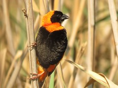Red Bishop  /  Southern Red Bishop /  Rooivink (Pixi2011) Tags: birds rietvleinaturereserve southafrica africa wildbirds nature