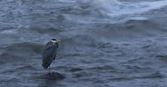 Grey Heron Grey day (Ann and Chris) Tags: heron coast grey sea water waves wildlife nature norway norge rogaland slowshutter