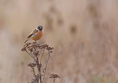 Stonechat - Michael Bird (Just call me Doc) Tags: saxicolarubicola stonechat attenboroughnaturereserve attenborough nottingham nottinghamshire birds michaelbird canon tamron g2 6d 150600mm