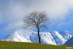 Seul, face à la montagne. (myrtillepm) Tags: savoie tree arbre massifdesbauges arbresolitaire jarsy montagne mountain montagneenneigée winter hiver neige